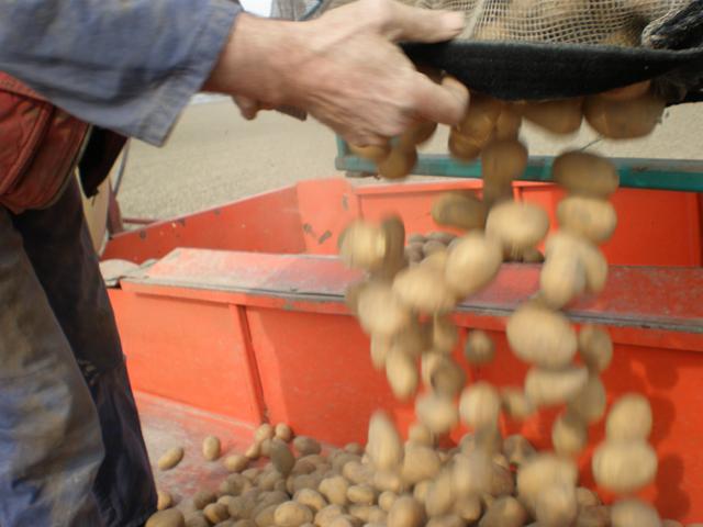 De aardappelen vallen in de pootmachine